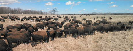 big-creek-bison
